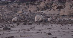 4K Polar Bear mother and two cub forging for food in rocks and ice, slow motion - SLOG2