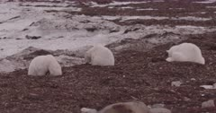 4K Polar Bear mother and two older cubs forging in seaweed, in from of ice and snow, Slow Motion  - SLOG2 Not Colour Corrected