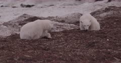 4K Polar Bear mother and two older cubs forging in seaweed, one cub shakes off, Zoom out, Slow Motion  - SLOG2 Not Colour Corrected