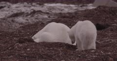 4K Polar Bear mother and older cubs forging in seaweed, Zoom out, Slow Motion  - SLOG2 Not Colour Corrected