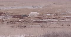 4K Polar Bear mother with two cubs walking across Tundra in to brush  - SLOG2 Not Colour Corrected