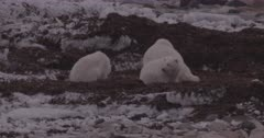 4K Polar Bear mother and 2 cubs forging in sea weed, Slow Motion  - SLOG2 Not Colour Corrected