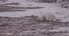 4K Polar Bear mother and 2 cubs forging in sea weed, cubs step out from behind mother, Slow Motion  - SLOG2 Not Colour Corrected