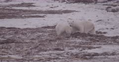 4K Polar Bear mother and 2 cubs forging in sea weed, mother watching for danger, Slow Motion  - SLOG2 Not Colour Corrected