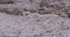 4K Polar Bear pops head over snow bank - SLOG2 Not Colour Corrected