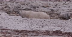 4K Polar Bear walking behind snow bank - SLOG2 Not Colour Corrected