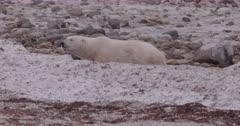 4K Polar Bear walking behind snow bank - SLOG2 Not Colour Corrected