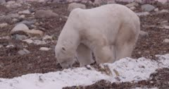 4K Polar Bear eating rotten sea weed, extreme Long Lens - SLOG NOT Colour Corrected or Stabilized