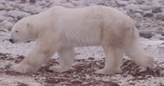 4K Polar Bear on snow bank over Tundra, extreme Long Lens, Close Up - SLOG NOT Colour Corrected or Stabilized