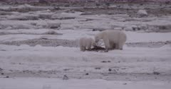 4K Polar Bear mother and two cubs walking across tundra, forging on sea weed, zoom in - SLOG2 NOT Colour Corrected