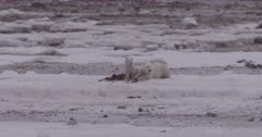 4K Polar Bear mother and two cubs forging on sea weed, Slow Motion, Extreme Long Lens - SLOG2 NOT Colour Corrected