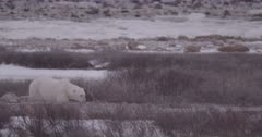 4K polar bear walking through brush on snow, exits frame, extreme Long Lens, unstabilized - SLOG2 Not Colour Corrected