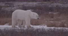 4K polar bear walking through brush on snow & Ice, extreme Long Lens, Slow Motion, unstabilized - SLOG2 Not Colour Corrected