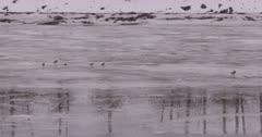 4K Mallard Ducks resting on frozen river, wider shot - SLOG2