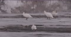 4K Snow Geese standing on ice and swimming in river - SLOG2