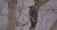 Northern Flicker Woodpecker female resting on branch looking around, wind blows feathers - Slow Motion - SLOG2