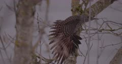 Northern Flicker Woodpecker female resting on branch, displays feathers and grooms, facing other direction - Slow Motion - SLOG2