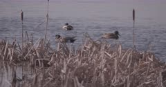 4K variety of ducks swimming and grooming in lake, Slow Motion - SLOG2 Not Colour Corrected