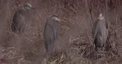 4K Grey Heron three (3) standing in tall dead grass, pan across to several others - SLOG2 Not Colour Corrected