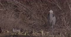 4K Grey Heron standing in tall dead grass, Northern Shovelers in front, Slow Motion - SLOG2 Not Colour Corrected