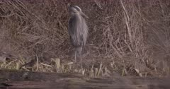 4K Grey Heron grooming, Slow Motion - SLOG2 NOT Colour Corrected