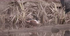 4K Northern Shoveler Duck, grooming himself on log, tucks head under wing, Tighter Shot, Slow Motion - SLOG2 Not Colour Corrected