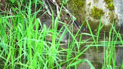 4K Muskrat chews down a horsetail and carries to eat at edge of creek