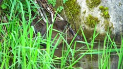 4K Muskrat chews on horsetail at edge of creek