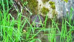 4K Muskrat Eating grass at edge of creek
