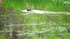 4K Beaver swimming in creek climbs over dam after sunset