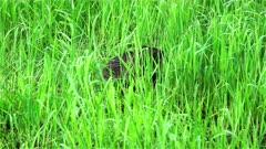 4K Beaver eating grass after sunset