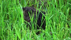 4K Beaver eating grass after sunset, dives into water