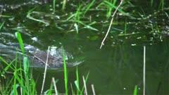4K Muskrat swims towards camera fast after sunset, rack focus