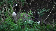 4K Canada Geese nesting along river - mother on nest with gosling peeking head out, father eating guarding