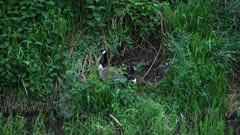 4K Canada Geese nesting along river, wider shot