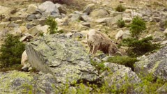 4K Big Horn Sheep grazing high up in the Alpine