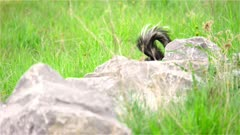 4K Skunk behind rocks in grassy meadow