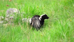 4K Skunk looking for food in grassy meadow