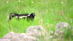 4K Skunk looking for food in grassy meadow and behind rocks