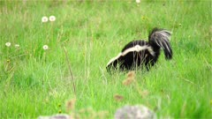 4K Skunk walking through grassy meadow looking for food