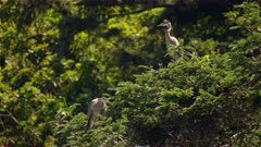 4K Grey Herons, mother & father perched at the top of high tree