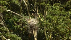 4K Grey Herons, mother & father nesting and slapping beaks in high tree