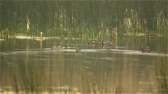 4K Blue billed ducks - pair swimming through reeds and other ducks in lake