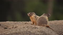 4K Columbian Ground Squirrel - two popping out of their den