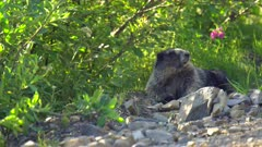 4K Grey Marmot in alpine covered by flys/bugs, wipes them away