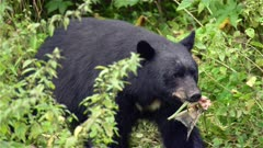 4K Black Bear white mark on chest, eating salmon, walks behind brush and exits