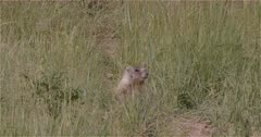 4K Yellow Belly Marmot watching in grass near den - Slow Motion