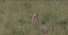 4K Yellow Belly Marmot watching in grass near den, drops down then back up - Slow Motion