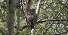 4K Great Horned Owl sleeping with one eye open - zoom in - Slow Motion