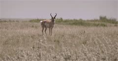 4K Prong Horn Antelope in grass on Prairies heat waves all around, snorts and gallops off - Slow Motion